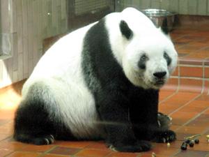 ジャイアントパンダの画像 p1_1
