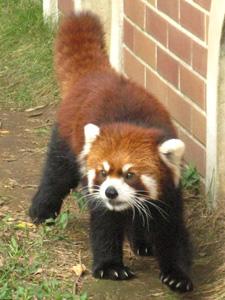 レッサーパンダの画像 p1_7